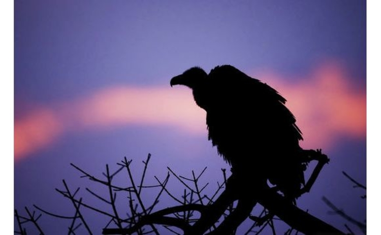 silhouette-lone-vulture-in-tree-at-dusk-lilac-pink-sky